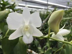 thai orchid farm 2