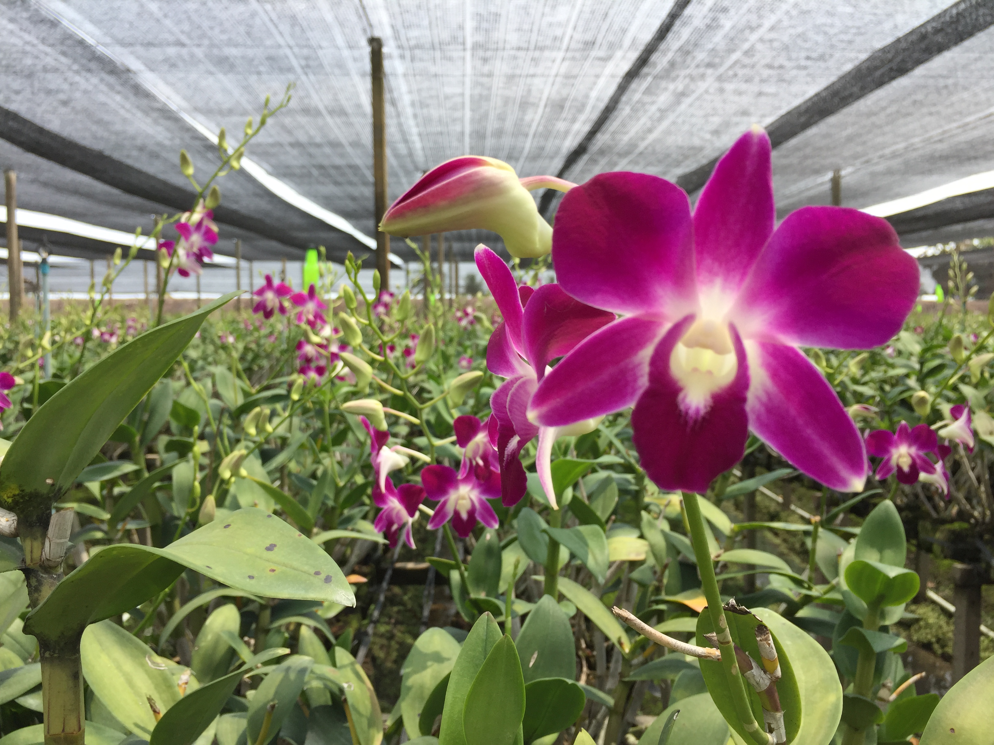 thai orchid farm 1