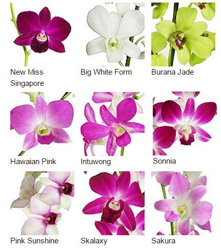 thai orchid 1