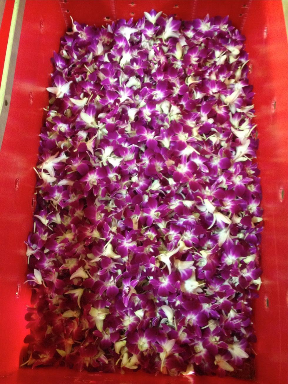 freshcut orchid 7