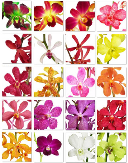 fresh cut orchid wholesale