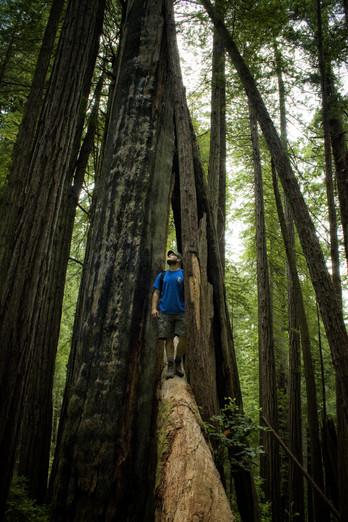 Giants // Redwoods National Park, CA