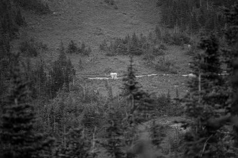 Mountain Goat // Glacier National Park, MT