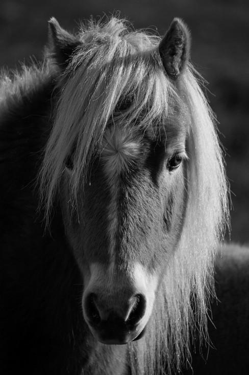 Wild Pony  //  Grayson Highlands State Park,  VA