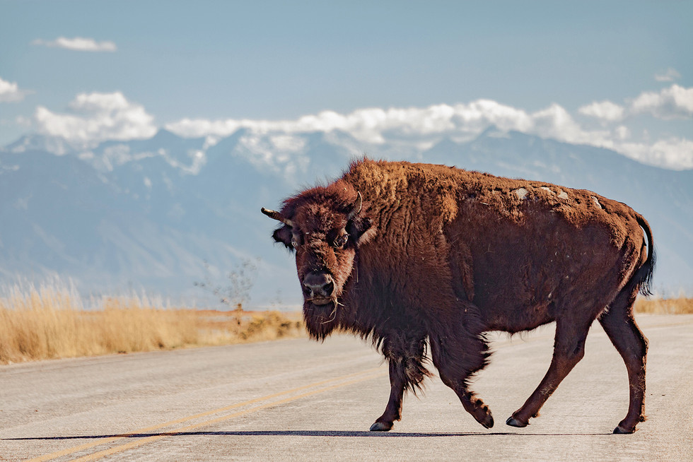 BuffaloCrossing_SS_SM.jpg