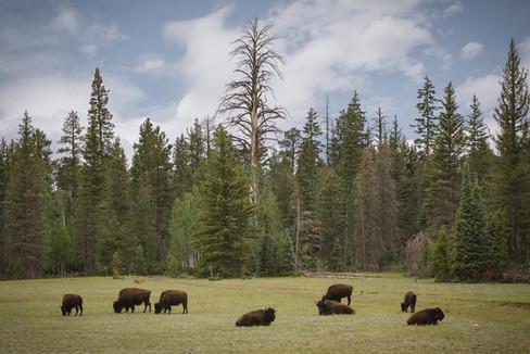Buffaloes  //  Grand Canyon National Park, AZ