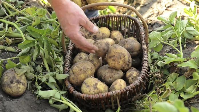 HelloFresh - Unsere Kartoffeln