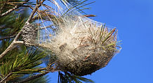nid de chenille processionnaire