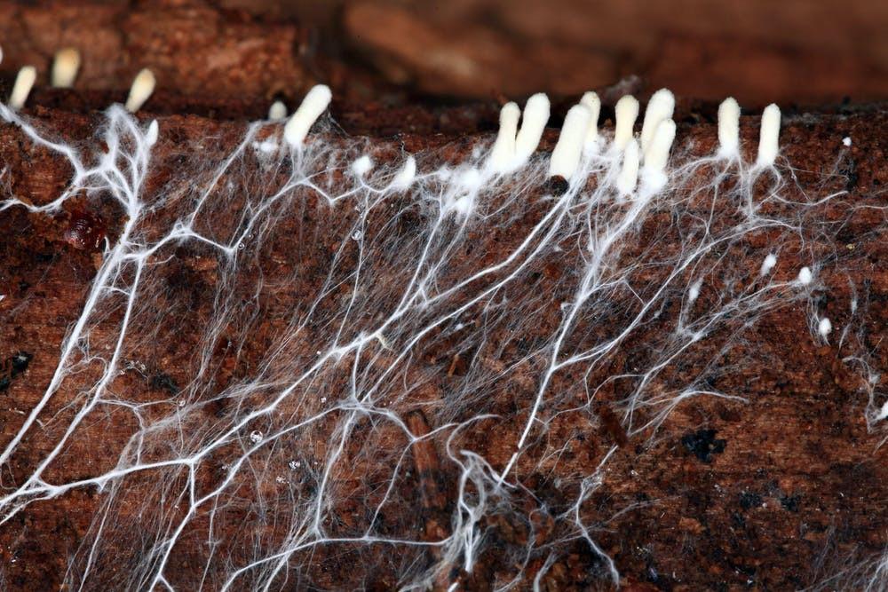 Mushroom Mycelium leather