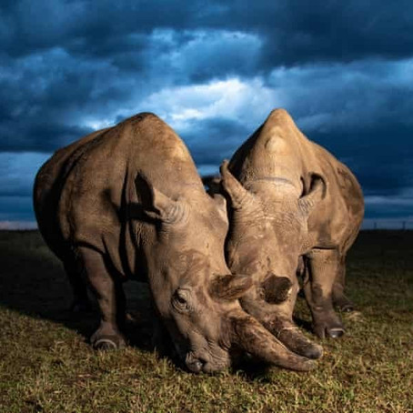 A New Hope: Northern White Rhinos May be Brought Back from the Brink of Extinction