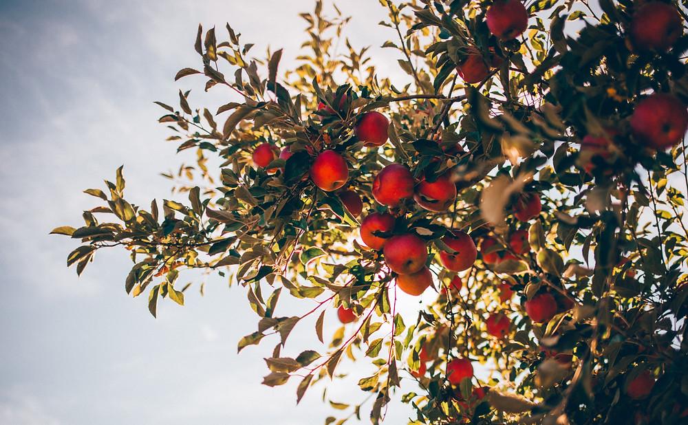 Apple tree sun sky vegan leather