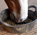 horse_eating_from_bucket_large.png