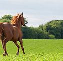 Chestnut-Arabian-horse-running-in-green-