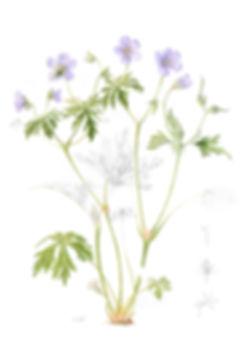 Geranium sanguinium