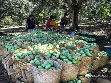 MangoHarvest.jpg