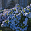 Thumbnail: Hortensia, Plante symbole