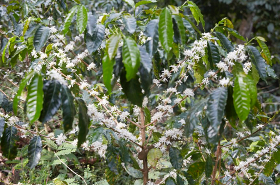 About Organic Coffee - Here's the Scoop