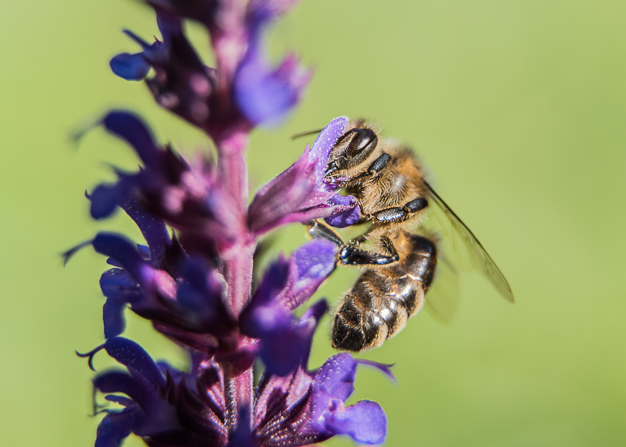 Pszczoła makro