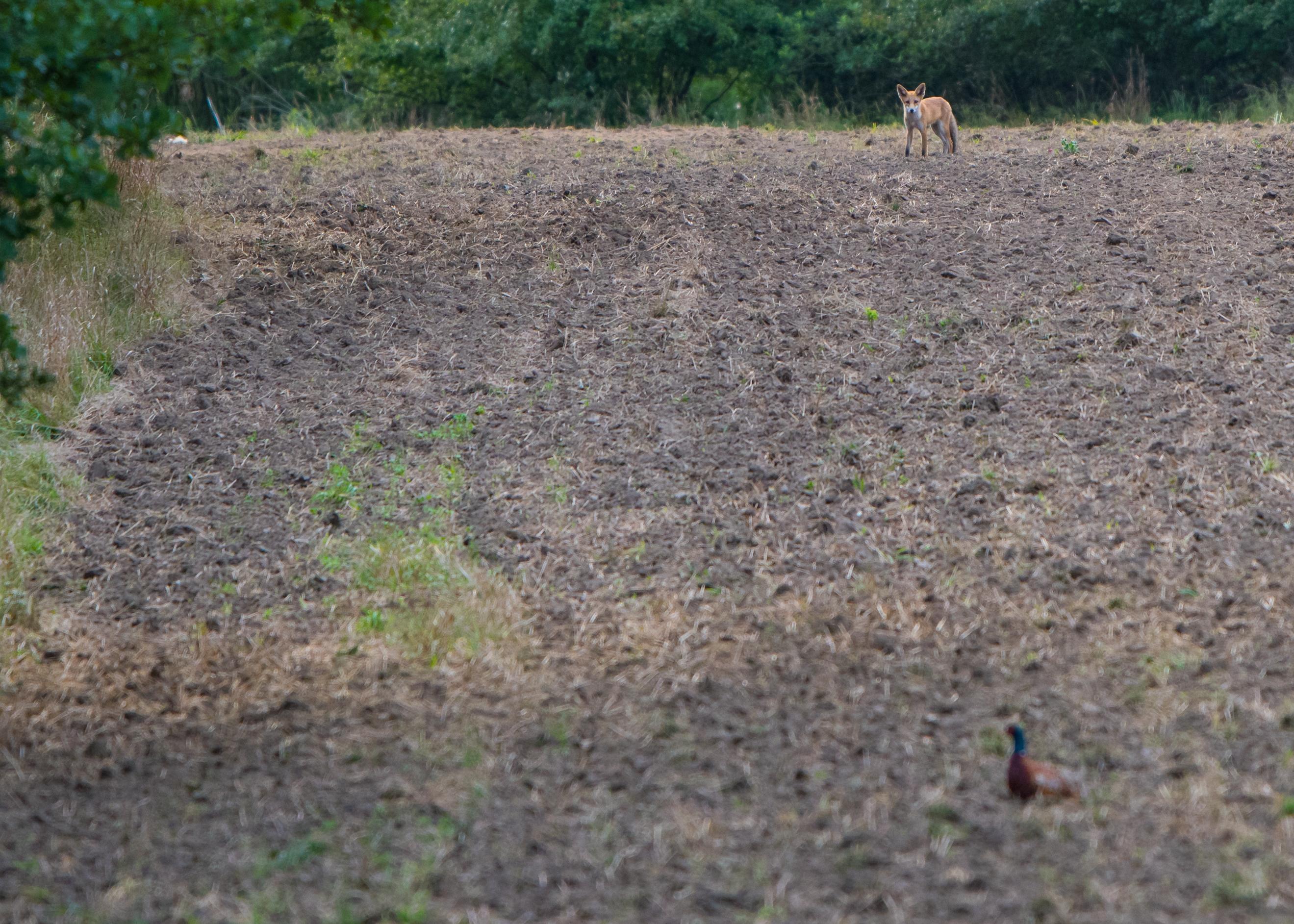 Lis na polu