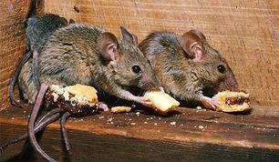 exterminator-for-mice-in-walls-astonishi