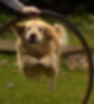 Golden Jumping a Hoop.jpg