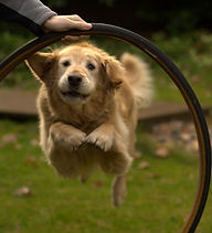 Golden Jumping a Hoop.jpg