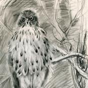 Cooper's hawk, observed
