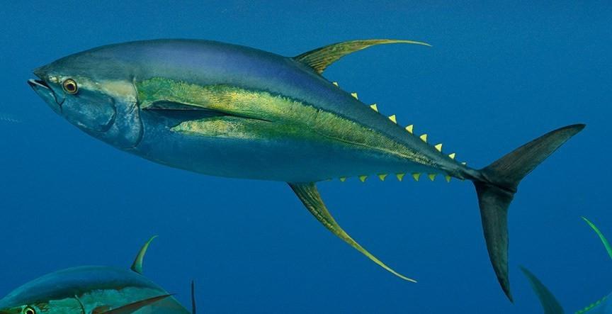Pêche d'un thon jaune à la sortie de la passe, croisière catamaran Tuamotu Polynésie Française