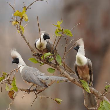 Bare-faced go-away bird (Corythaixoides personata leopoldi)