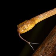Blunt-headed vine snake (Imantodes cenchoa)