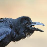 Indian jungle crow (Corvus culminatus)