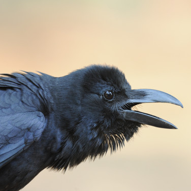 Indian jungle crow (Corvus culminatus)