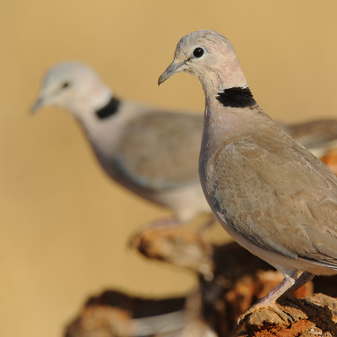 Ring-necked dove - (Streptopelia capicola somalica)