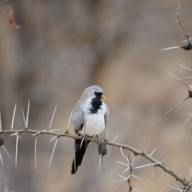Namaqua dove (Oena c. capensis)