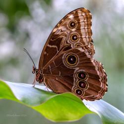 Blauer Morphofalter (Morpho peleides