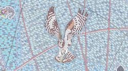 Osprey 105 DJI_0833