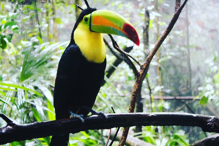 Toucan in Belize