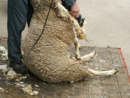 Le traitement de laine ( La tonte )