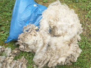 Lavage toison agneau Ouessant blanche