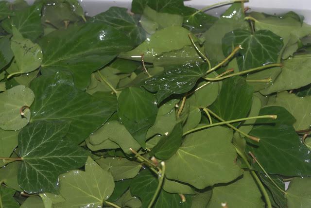 feuilles de lierre grimpant
