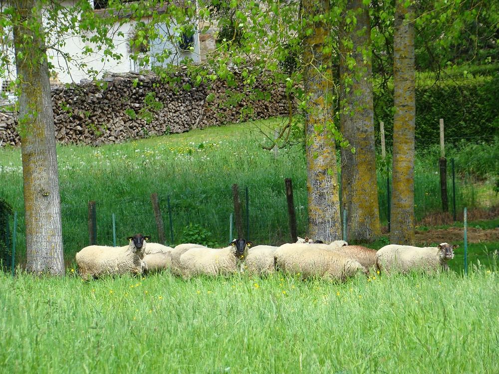 moutons Ile de France et Suffolk