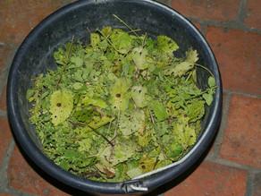 Teinture végétale par fermentation avec de la mélisse citronnelle