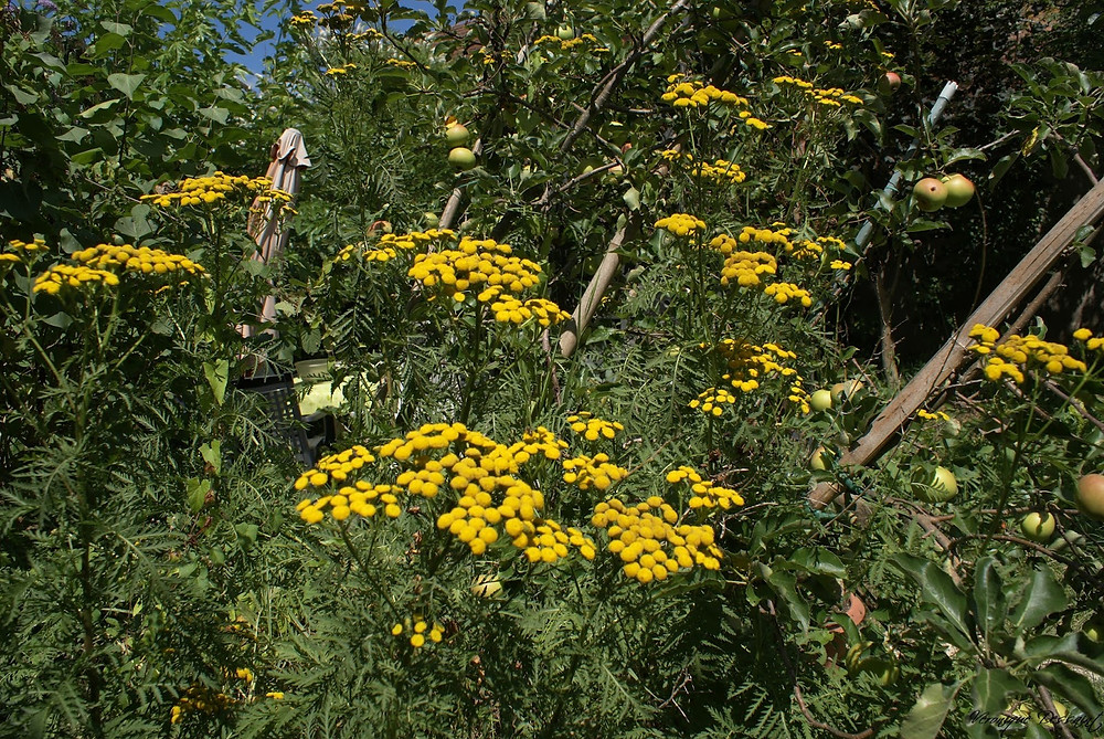 tanaisie en fleur dans le jardin