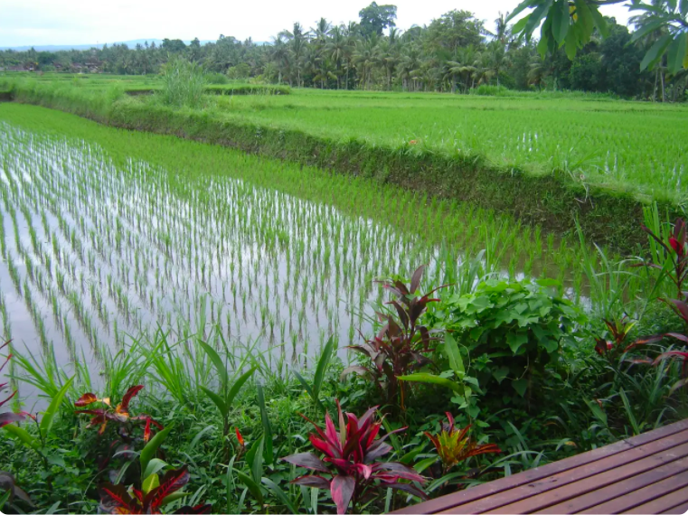 Views of rice fields from balcony