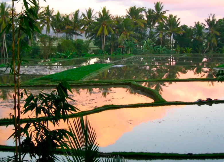 View of rice fields and jungle at sunset