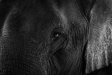 Elephant Art Photographie Noir Blanc