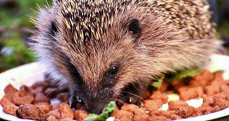 Best-hedgehog-food_edited.jpg