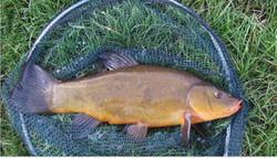 Les Vaughan nets this tench