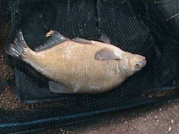 5lb 6oz Bream for Terry McAnish
