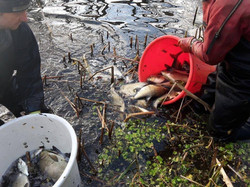 returning netted fish to canal